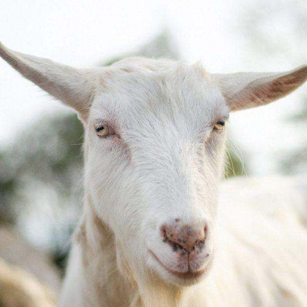Chèvre d'Appenzell