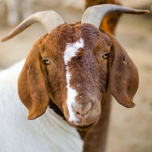 Chèvre Boer
