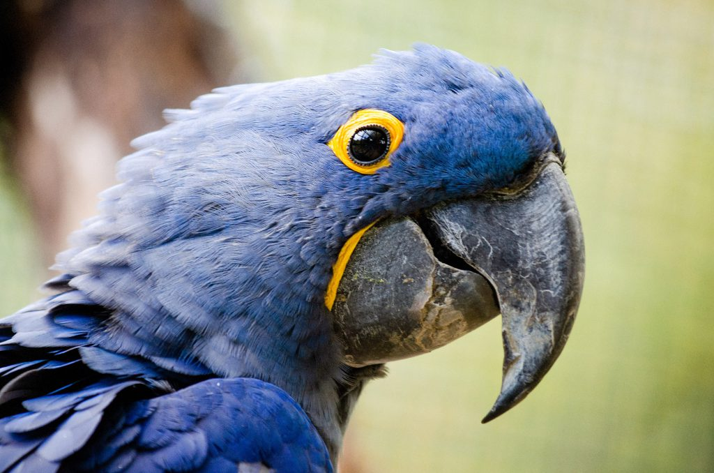 Blue Aras